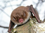 Pond Bat (Myotis dasycneme)